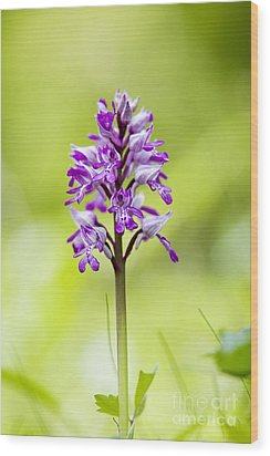 Military Orchid Wood Print by Tim Gainey