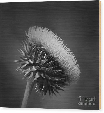 Milk Thistle Bw Wood Print by Maria Urso