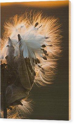Milkweed Seed Pod Wood Print by Adam Romanowicz