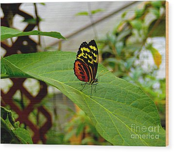 Mindo Butterfly Poses Wood Print by Al Bourassa
