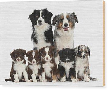 Miniature American Shepherd Dog Wood Print by Mark Taylor