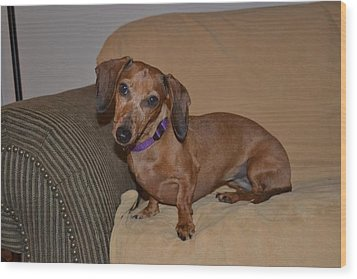 Miniature Dachshund  Wood Print