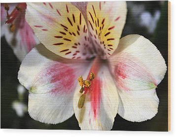 Wood Print featuring the photograph Miniature Oriental White Lily by Judy Palkimas