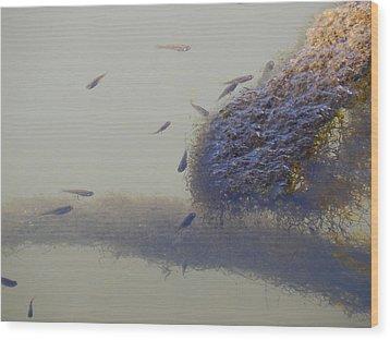 Minnows Feeding On Algae Wood Print by Terry Cobb