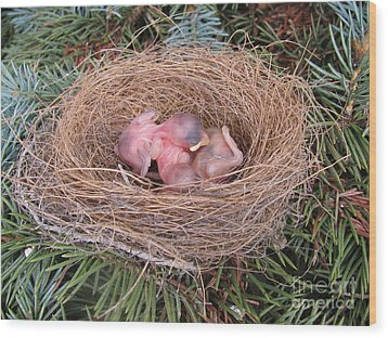 Wood Print featuring the photograph Miracle Of Birth _ Baby Robins 4 by Margaret Newcomb