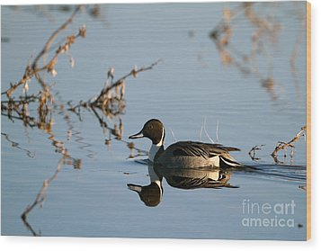Northern Pintail Mirror Image Wood Print by Martha Marks