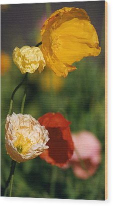 Mixed Color Poppies Wood Print