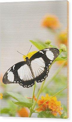 Mocker Swallowtail Wood Print by Anne Gilbert
