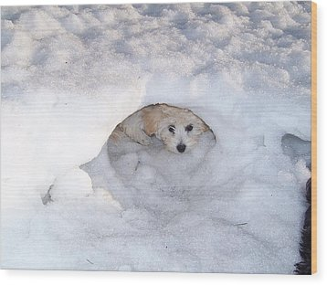 Molly Hidding In Her Snow Cave Wood Print