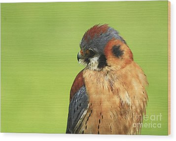 Moments Of Beauty American Kestrel Falcon  Wood Print by Inspired Nature Photography Fine Art Photography