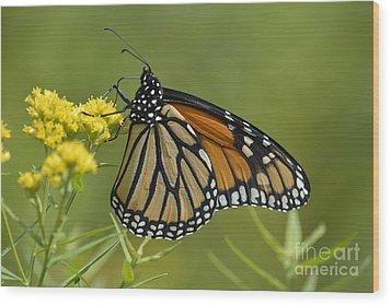 Monarch 2014 Wood Print by Randy Bodkins