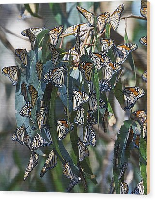 Monarch Butterflies Natural Bridges Wood Print