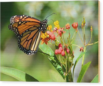 Monarch Butterfly 3 Wood Print by Julie Cameron