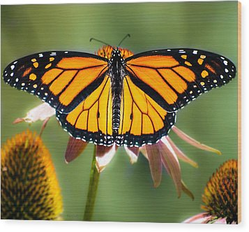 Monarch Butterfly Wood Print by Bob Orsillo