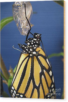 Monarch Butterfly Emerging From Chrysalis Wood Print by Inspired Nature Photography Fine Art Photography