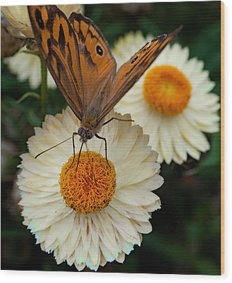 Monarch Butterfly On Paper Daisy Wood Print by Patrick OConnell