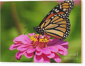 Monarch Butterfly On Zinnia Wood Print by Olivia Hardwicke