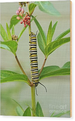 Wood Print featuring the photograph Monarch Caterpillar And Milkweed by Steve Augustin