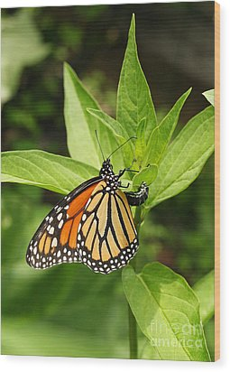 Wood Print featuring the photograph Monarch Egg Time by Steve Augustin