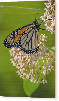 Monarch Nectaring Wood Print