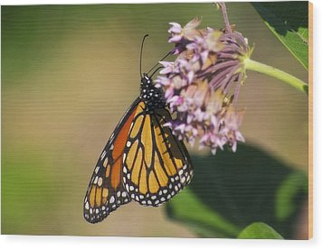 Monarch On Milkweed Wood Print by Shelly Gunderson