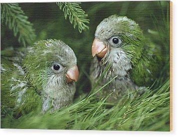 Monk Parakeet Chicks Wood Print