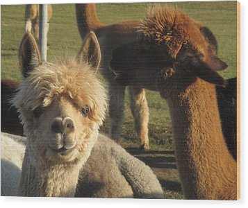 Moonacre Alpacas 2 Wood Print