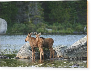 Moose Calves In Maine Wood Print by Jeannette Hunt