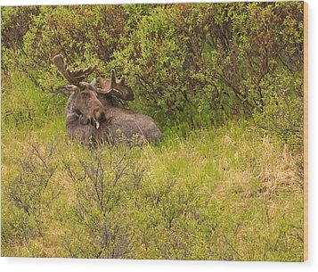 Moose Cleaning Itself Wood Print by Brian Magnier