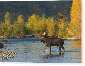 Wood Print featuring the photograph Moose Crossing by Aaron Whittemore