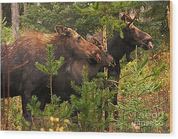 Wood Print featuring the photograph Moose Family At The Shredded Pine by Stanza Widen