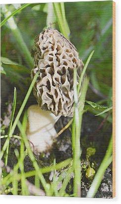 Morchella Esculenta Wood Print by Felicia Tica