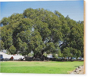 Moreton Fig Tree In Santa Barbara Wood Print
