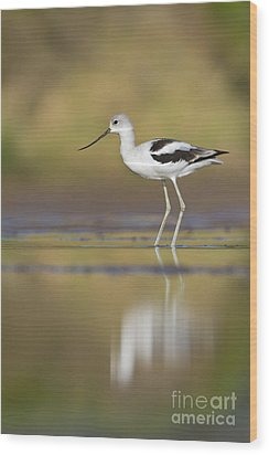 Wood Print featuring the photograph Morning Avocet by Bryan Keil