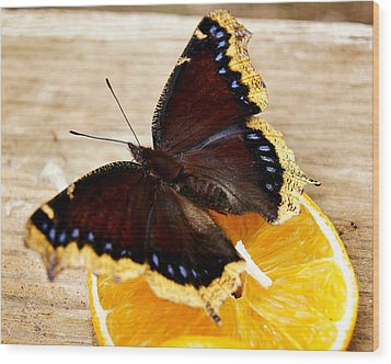 Morning Cloak Butterfly Wood Print by Carol Toepke