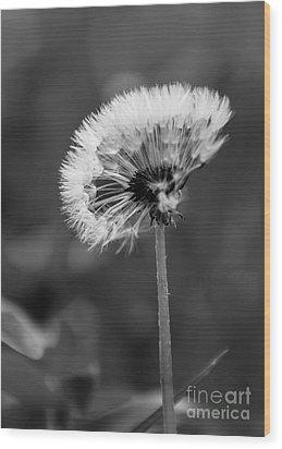 Morning Dandelion Wood Print