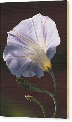 Morning Glory Light Wood Print