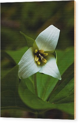 Wood Print featuring the photograph Morning Trillium by Haren Images- Kriss Haren