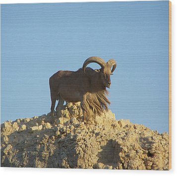 Moroccan Barbary Sheep Wood Print by Noreen HaCohen