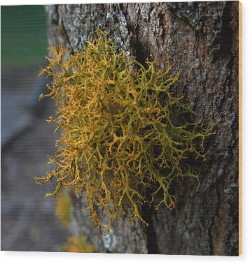 Moss On Tree Wood Print by Pamela Walton