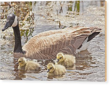 Mother Goose And Goslings Wood Print by Natural Focal Point Photography