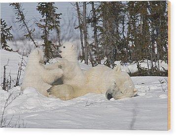 Mother Polar Bear Sleeps While Her Cubs Play Wood Print