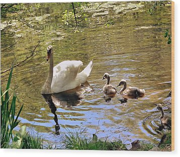 Mother Swan And Cygnets Wood Print by Janice Drew