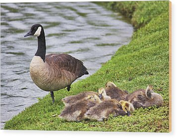 Mother With Goslings Wood Print by Jason Politte