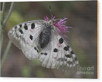 Mountain Apollo Parnassius Apollo Wood Print by Amos Dor