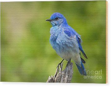 Mountain Bluebird Wood Print by Aaron Whittemore