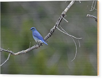 Mountain Bluebird In Yellowstone National Park Wood Print by Bruce Gourley