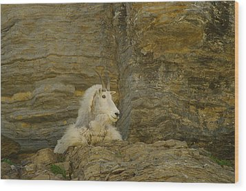 Mountain Goat Wood Print by Jeff Swan