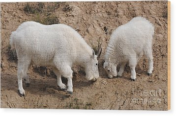 Mountain Goats At The Salt Lick Wood Print by Vivian Christopher