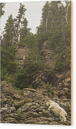 Mountain Goats In Glacier 2 Wood Print by Natural Focal Point Photography